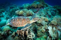 Coral and Turtle I  _5KW1666