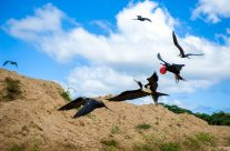 Frigate Birds in Flight I _6KW2211
