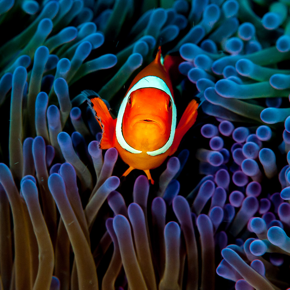 Eastern Clownfish peering out of sea anemone